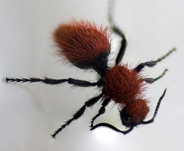 Sexism in Nature: The Red Velvet Ant